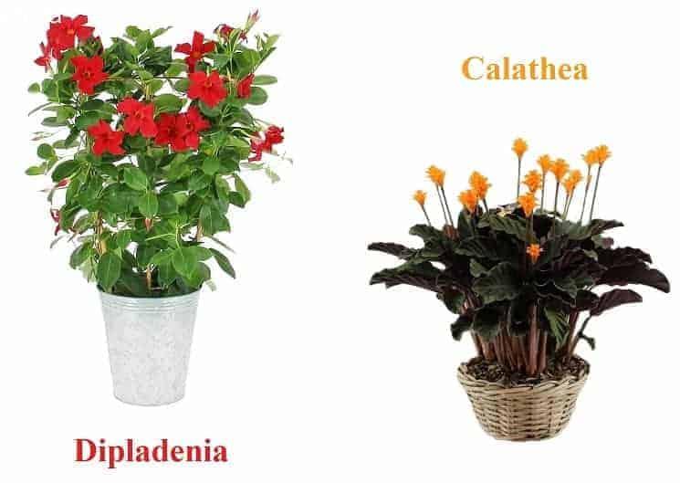 dipladenia plante interieur exterieur facile